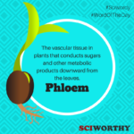 Word of the Day: Phloem