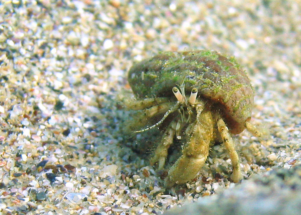 Expansion of Mediterranean hermit crabs into the North Sea thanks to climate change