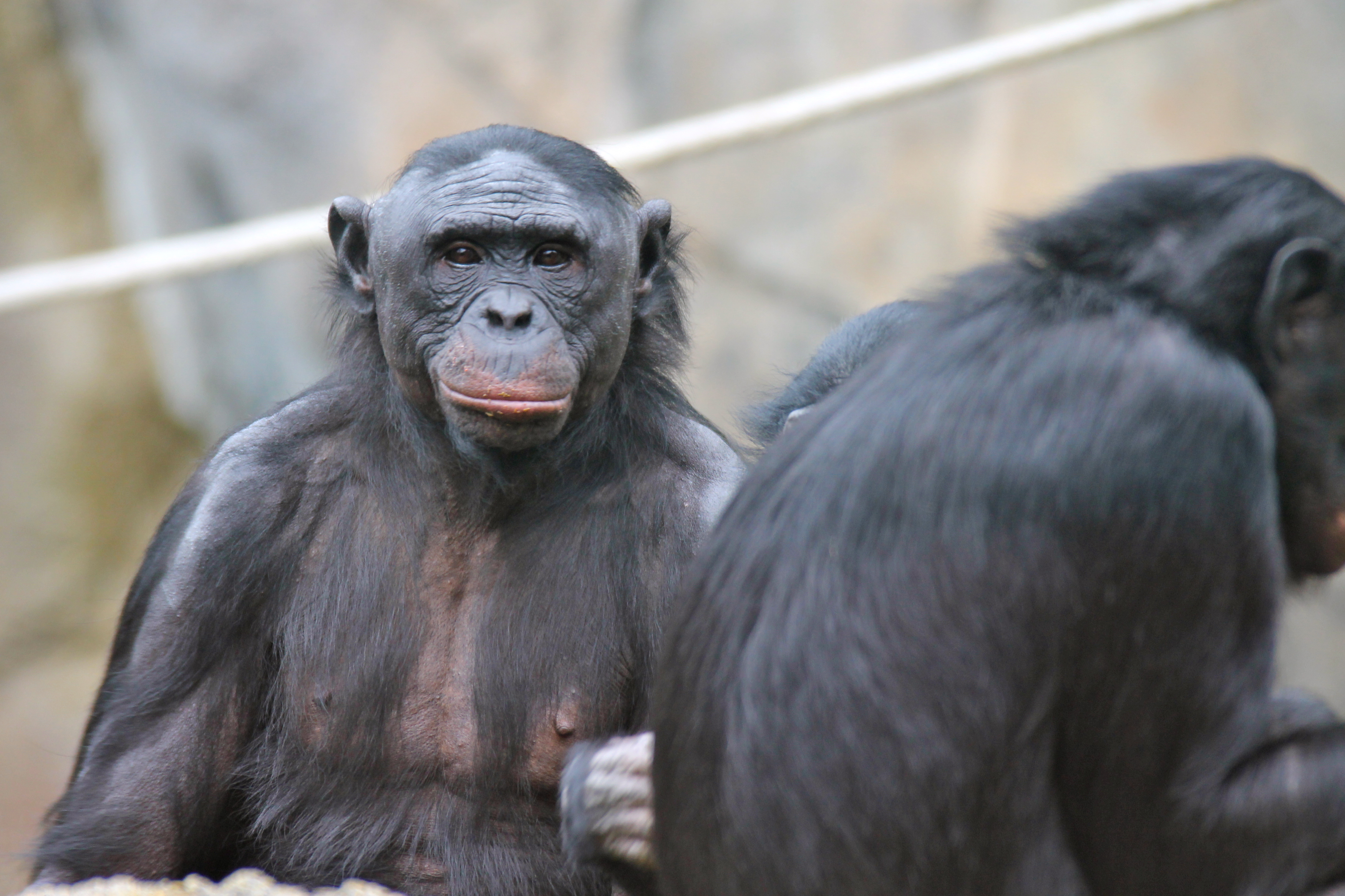 Chimpanzees Can Tell When You Believe Something False