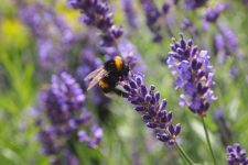 Pesticide Exposure is Harmful for Queen Bees