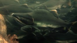 Are Pink Salmon the Key to Better Fish Farming?