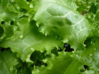 Washing Lettuce Might Not Remove All The Germs