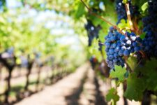 Beyond the grapes: what influences the flavor of different wines?