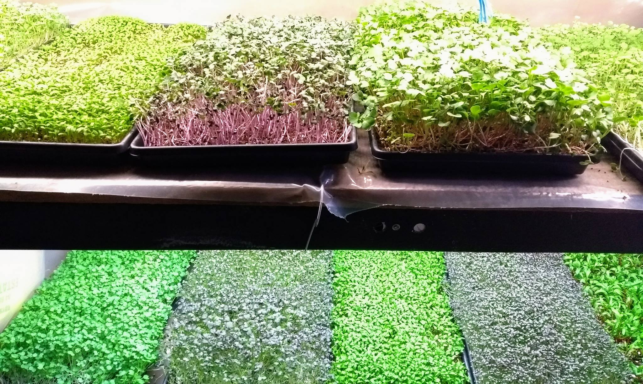 Hacking hydroponics to grow kidney-friendly vegetables