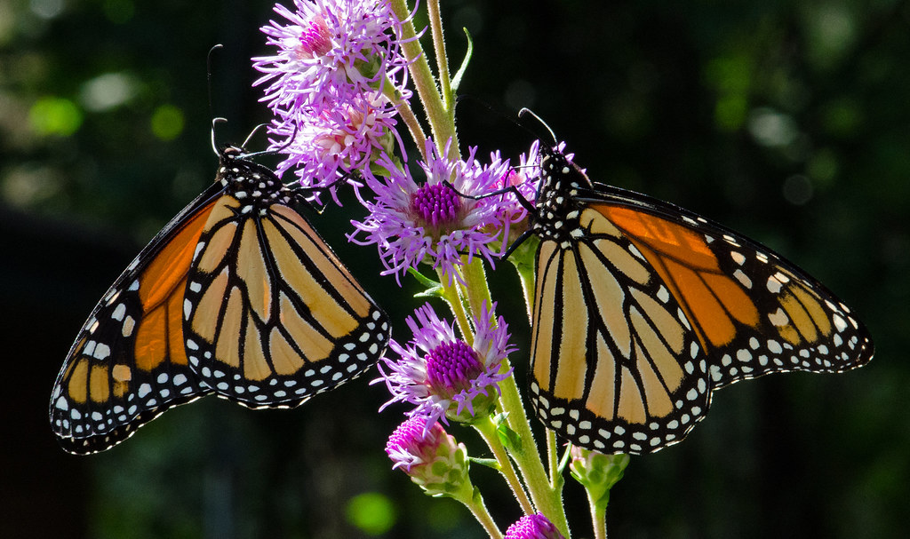 Monarch Migration Disrupted