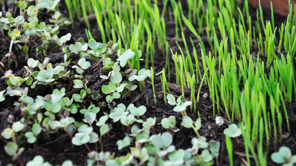 microgreens in dirt